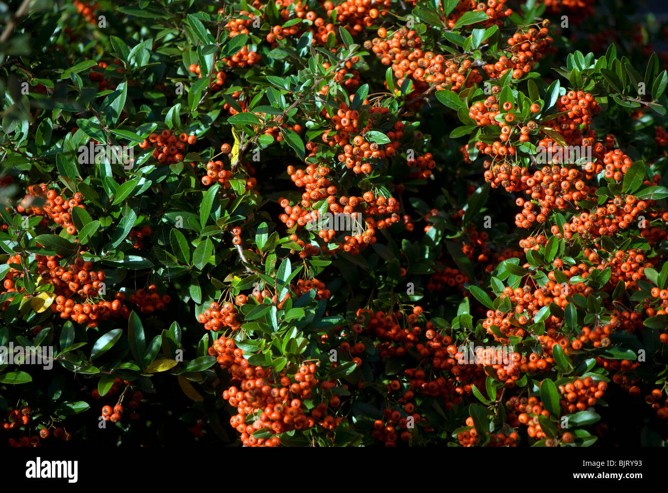 Pyracantha Bush With Orange Berries Stock Photo 28800495 Alamy