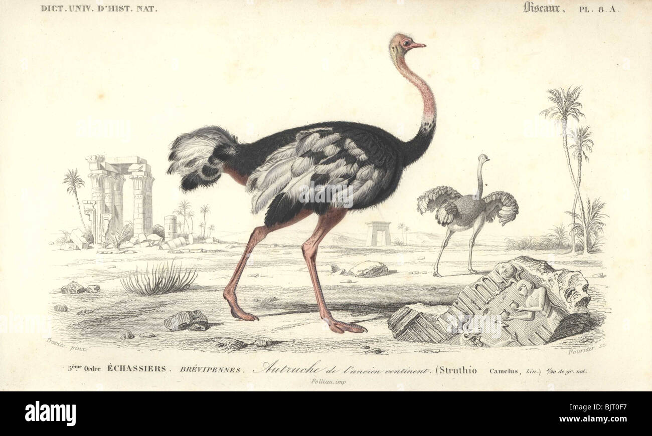 Ostrich  Struthio camelus Stock Photo