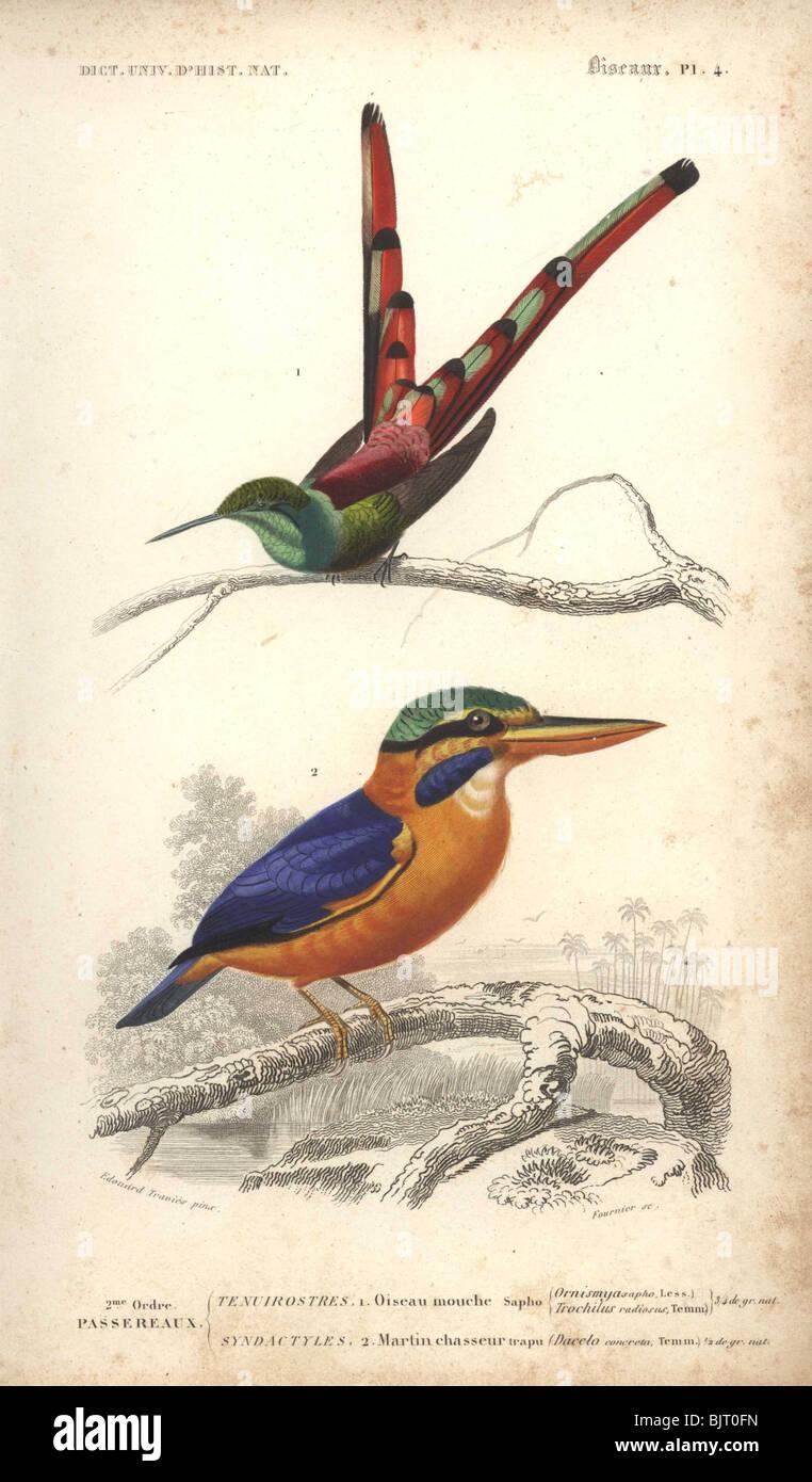 Red-tailed comet (hummingbird) and Rufous-collared kingfisher  Ornismya sapho, Dacelo concreta, Sappho sparganura Stock Photo