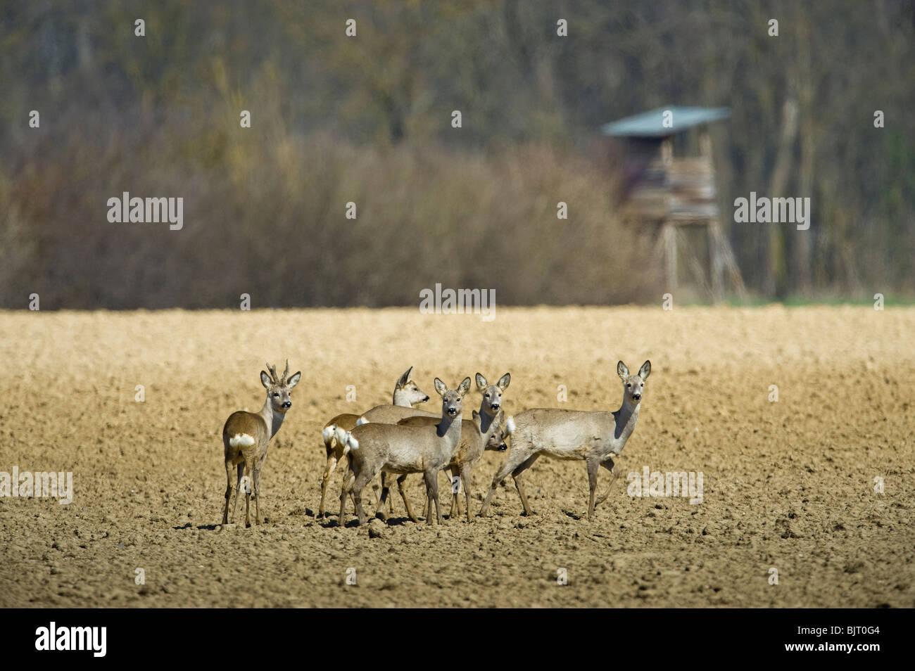 roe deer in field soil group herd spring wild wildlife roe deer in field soil group herd spring wild wildlife hunt - Stock Image