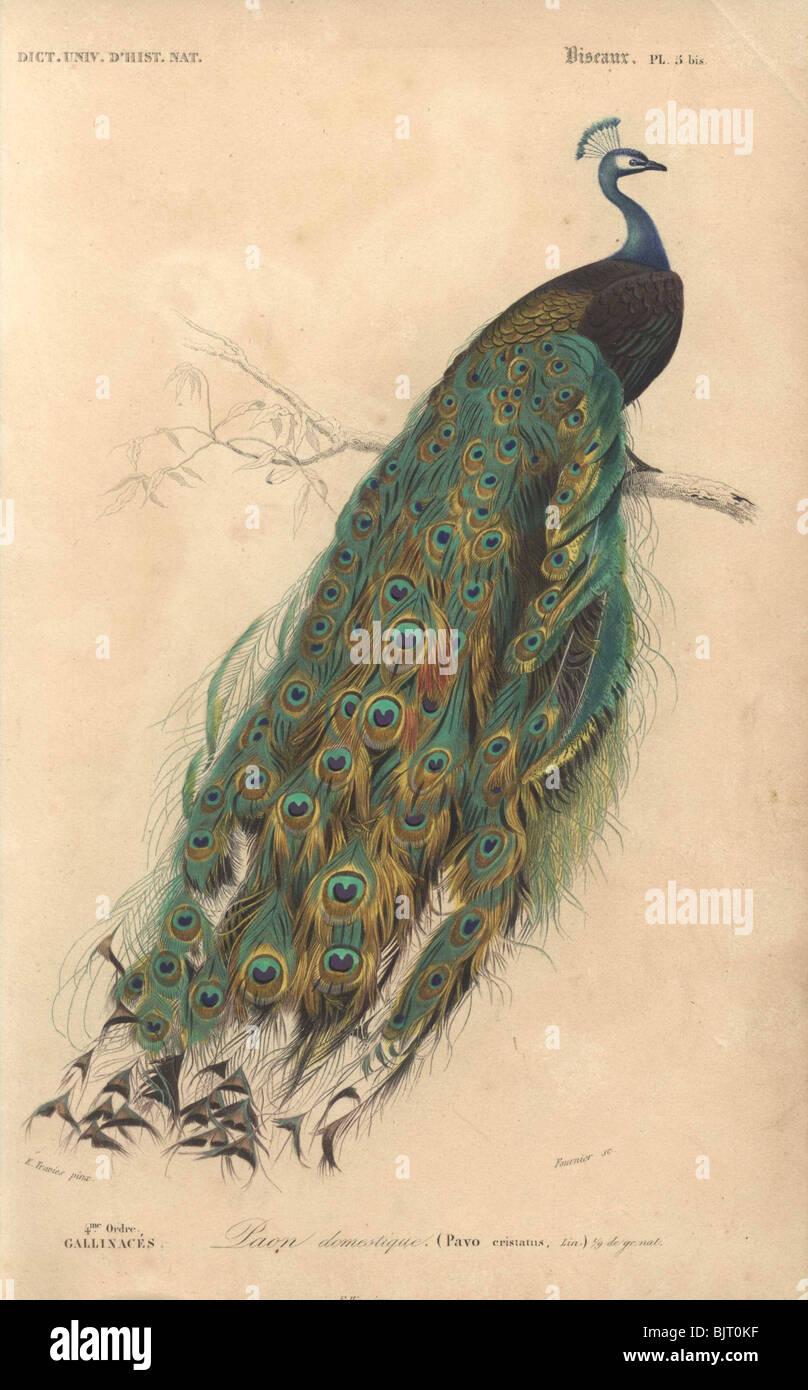 Peacock  Pavo cristatus Stock Photo