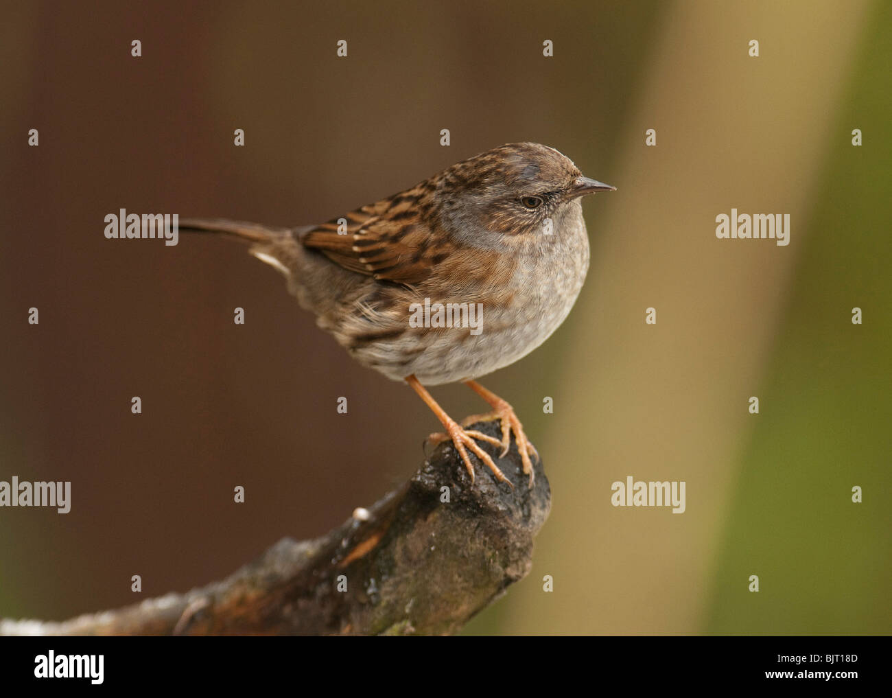 Dunnock  Prunella modularis on branch in wood UK. - Stock Image