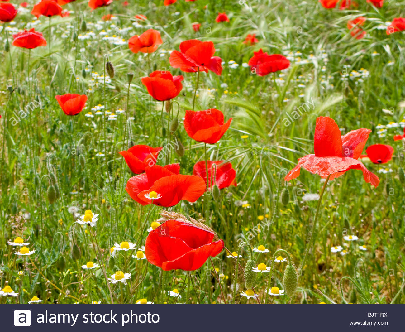 Field poppy (Papaver rhoeas) growing in field - Stock Image