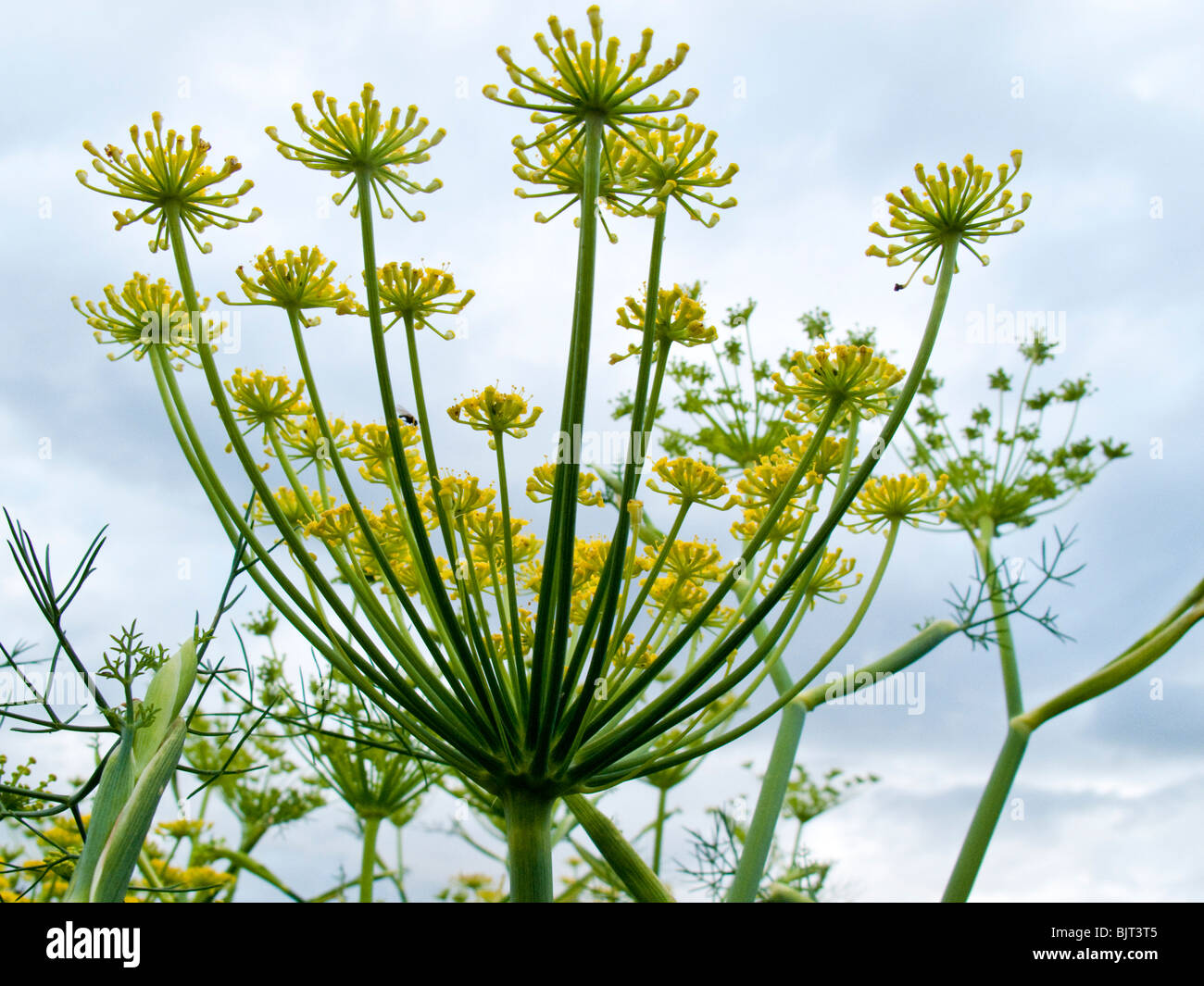 Fennel Foeniculum Vulgare Tall Herb With Yellow Flowers Stock