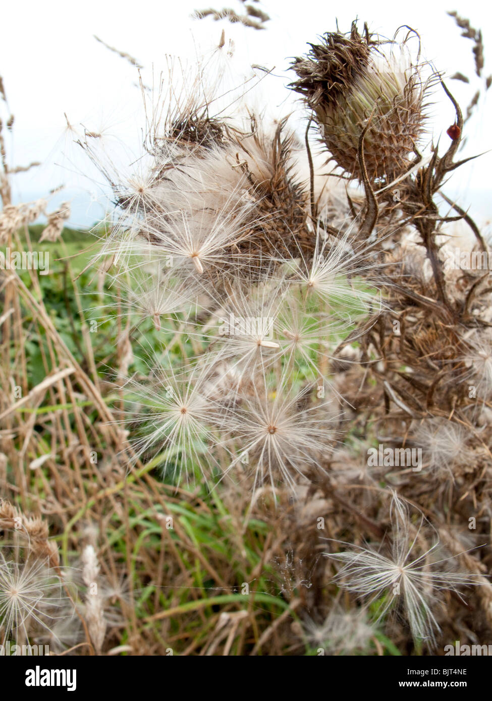 Thistle seedheads in autumn - Stock Image