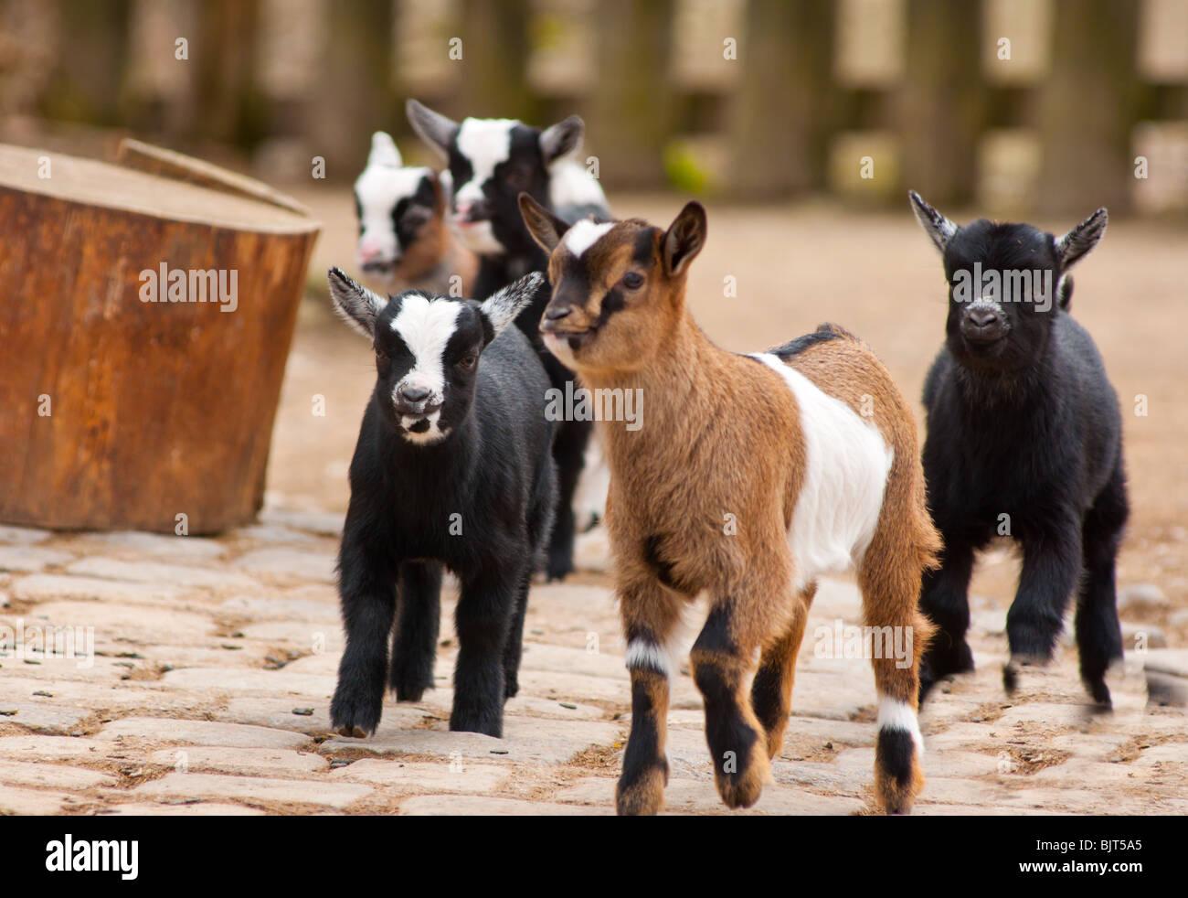 Baby goats running - Stock Image