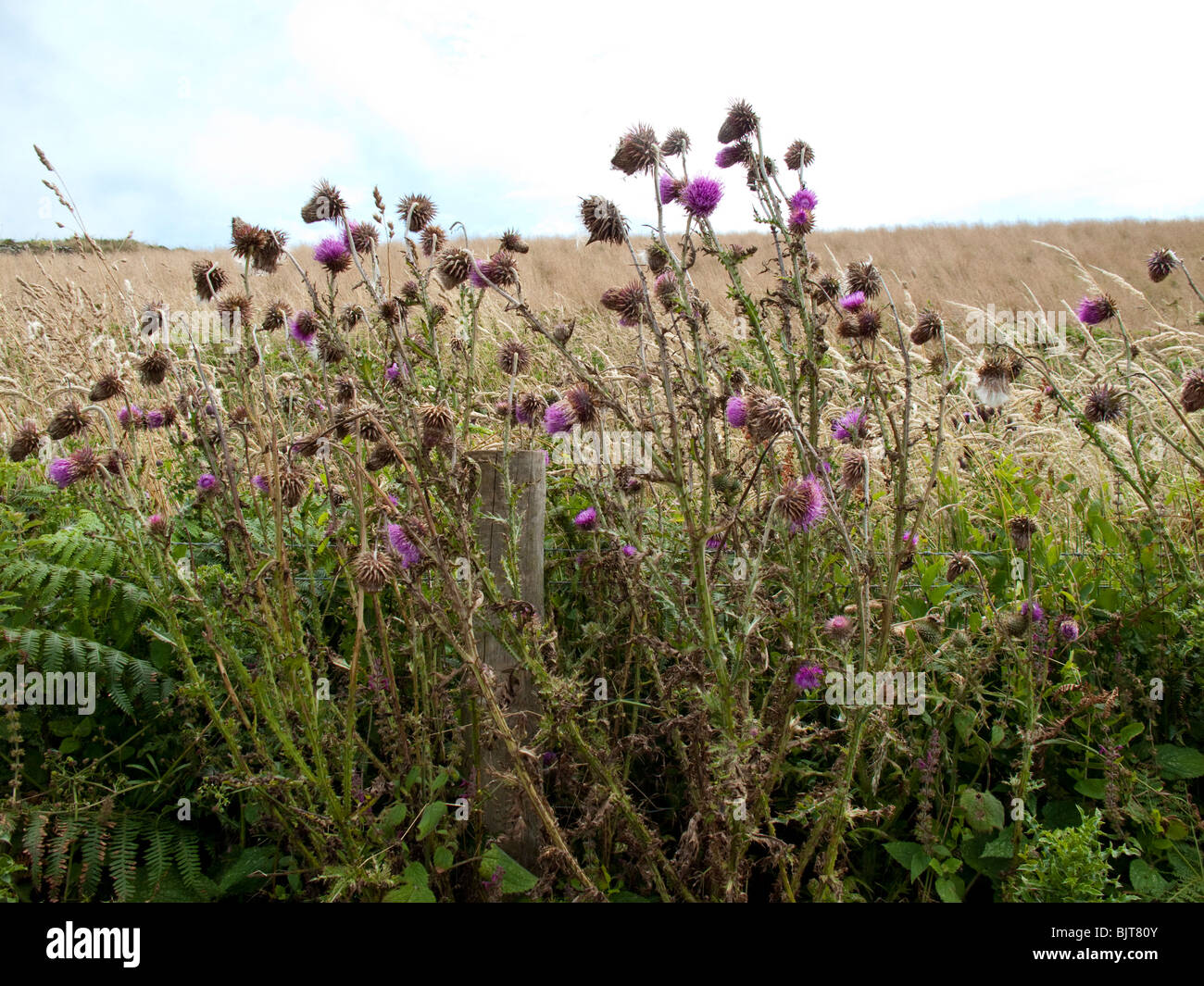 Musk thistle or Nodding thistle (Carduus nutans) - Stock Image