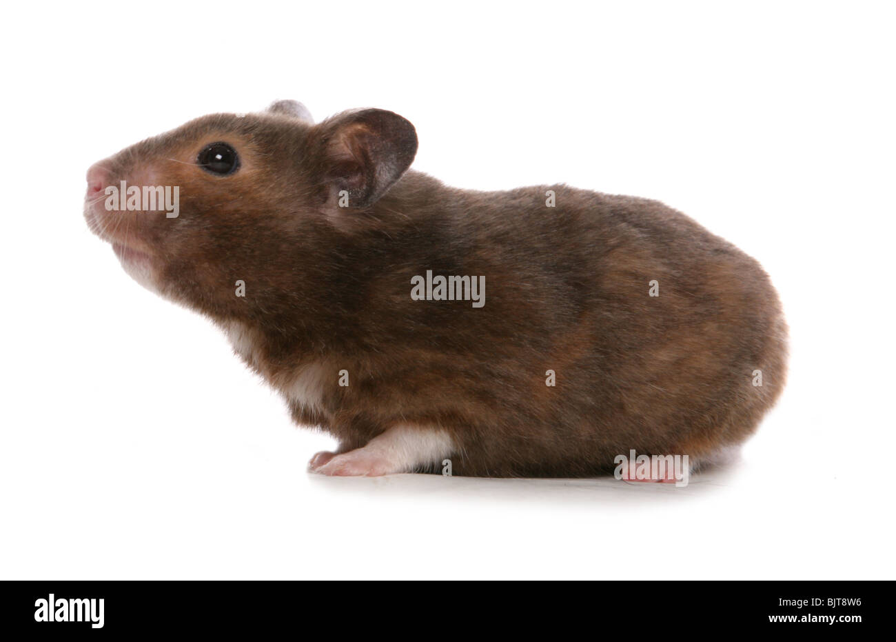 Syrian Hamster Portrait of single adult Studio, UK - Stock Image