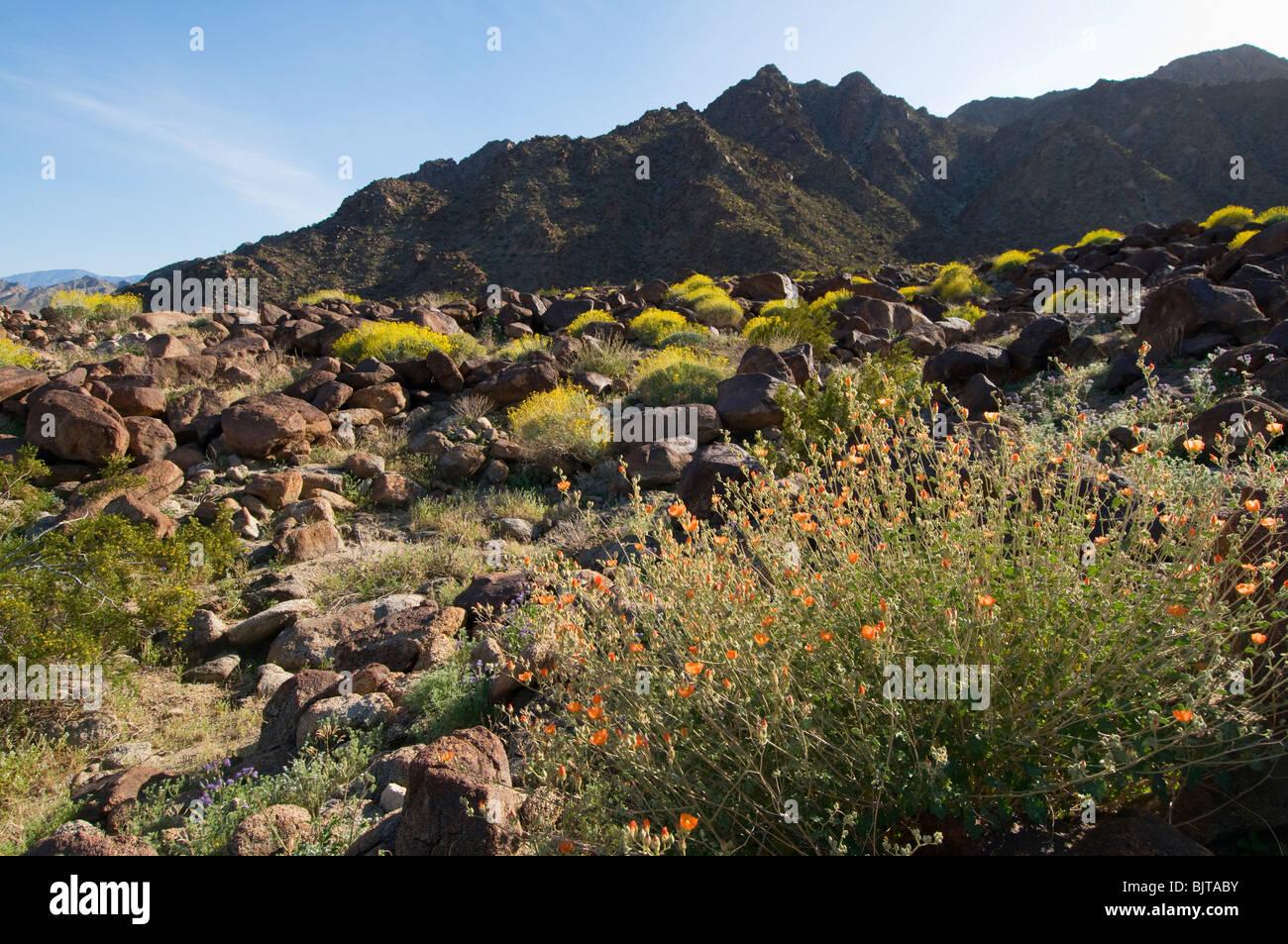 Palm springs spring flowers in desert stock photos palm springs springtime wild flowers blooming in the desert near palm springs california stock image mightylinksfo