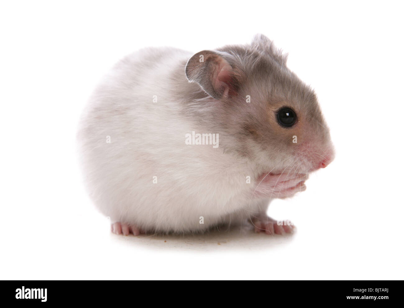 Syrian Hamster Portrait of single baby Studio, UK - Stock Image