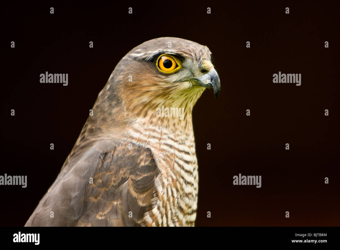 Hawk Eye Stock Photos Amp Hawk Eye Stock Images Alamy