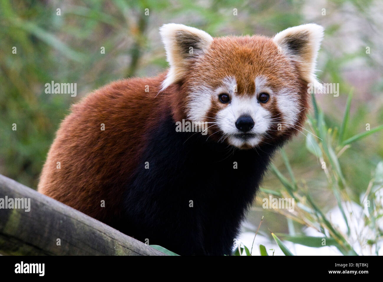 Red Panda, Beauval Zoo on a cold winter day. Stock Photo