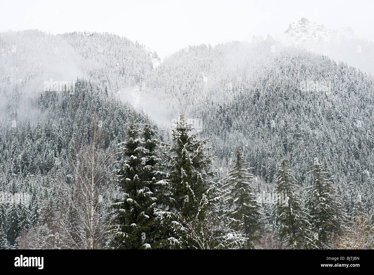 Trees covered in snow in french alps - Stock Image