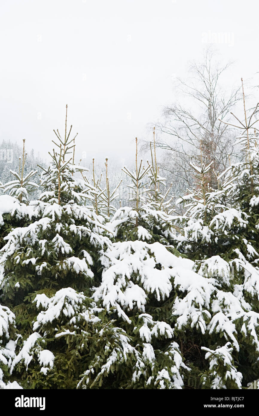 Trees covered in snow - Stock Image