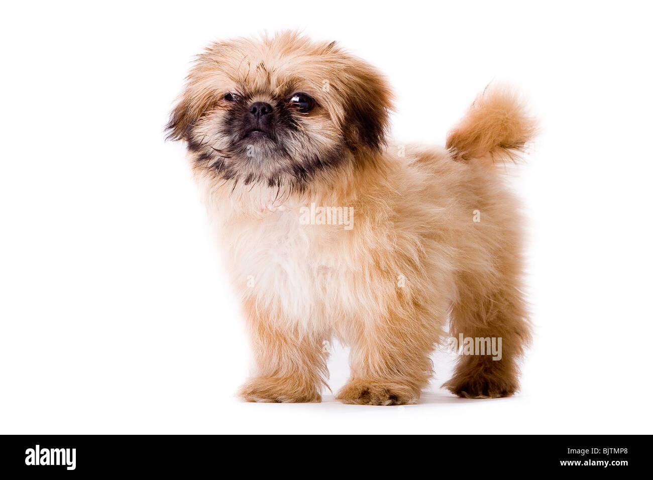 Cute little pekingese dog isolated on white Stock Photo