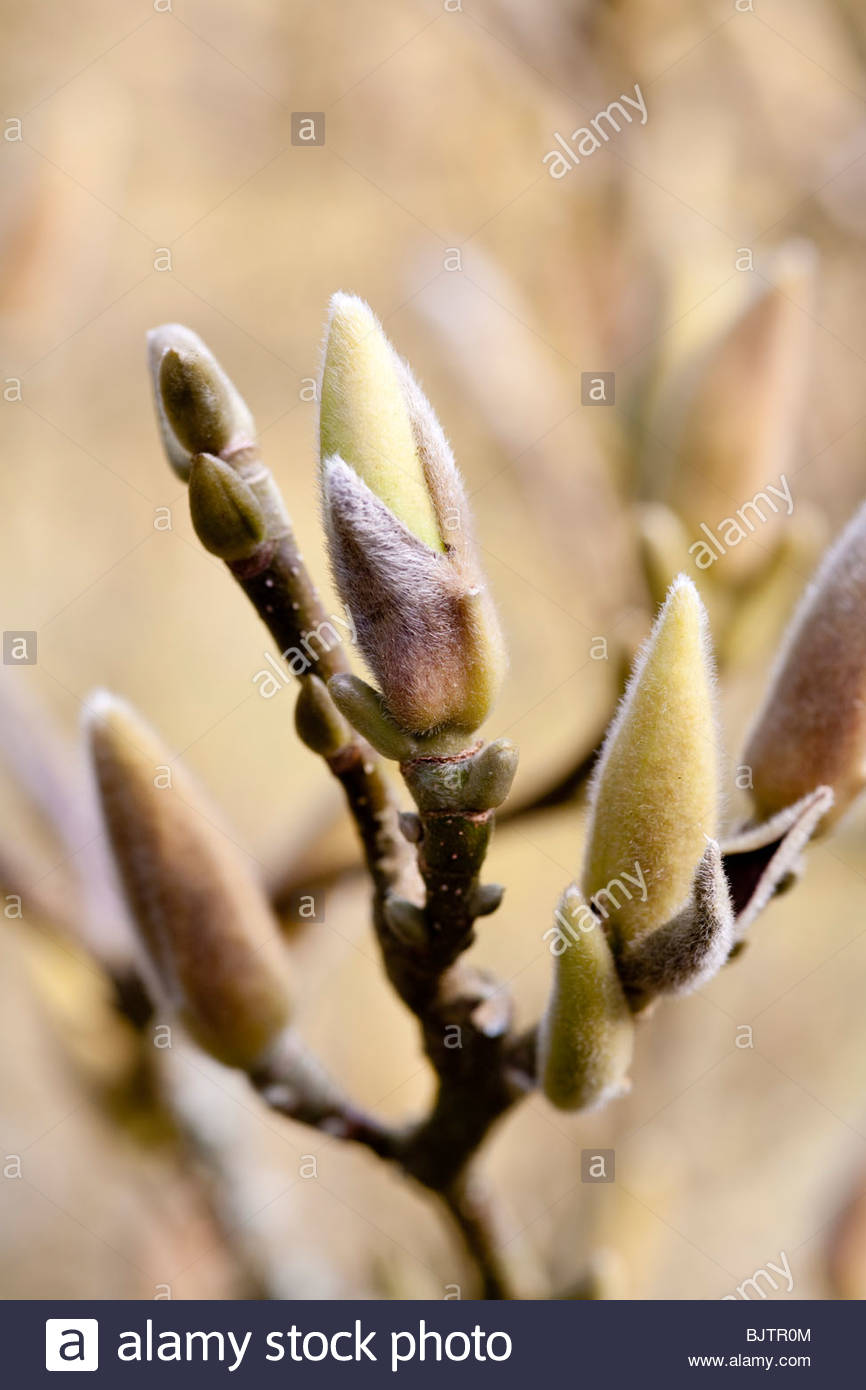 Early spring Magnolia buds - Stock Image