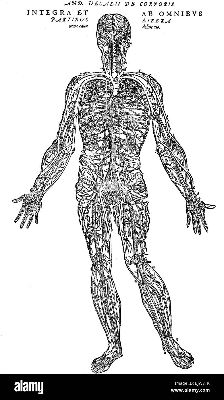medicine, anatomy, blood vessels of human body, image after Andreas ...