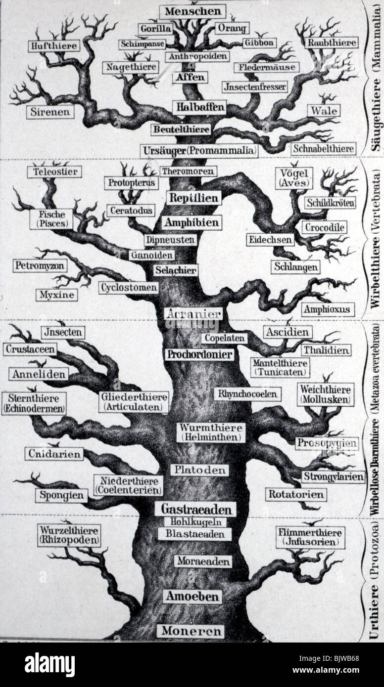 science, anthropology, tree symbolising the human evolution, wood engraving after Ernst Haeckel, circa 1900, Additional - Stock Image