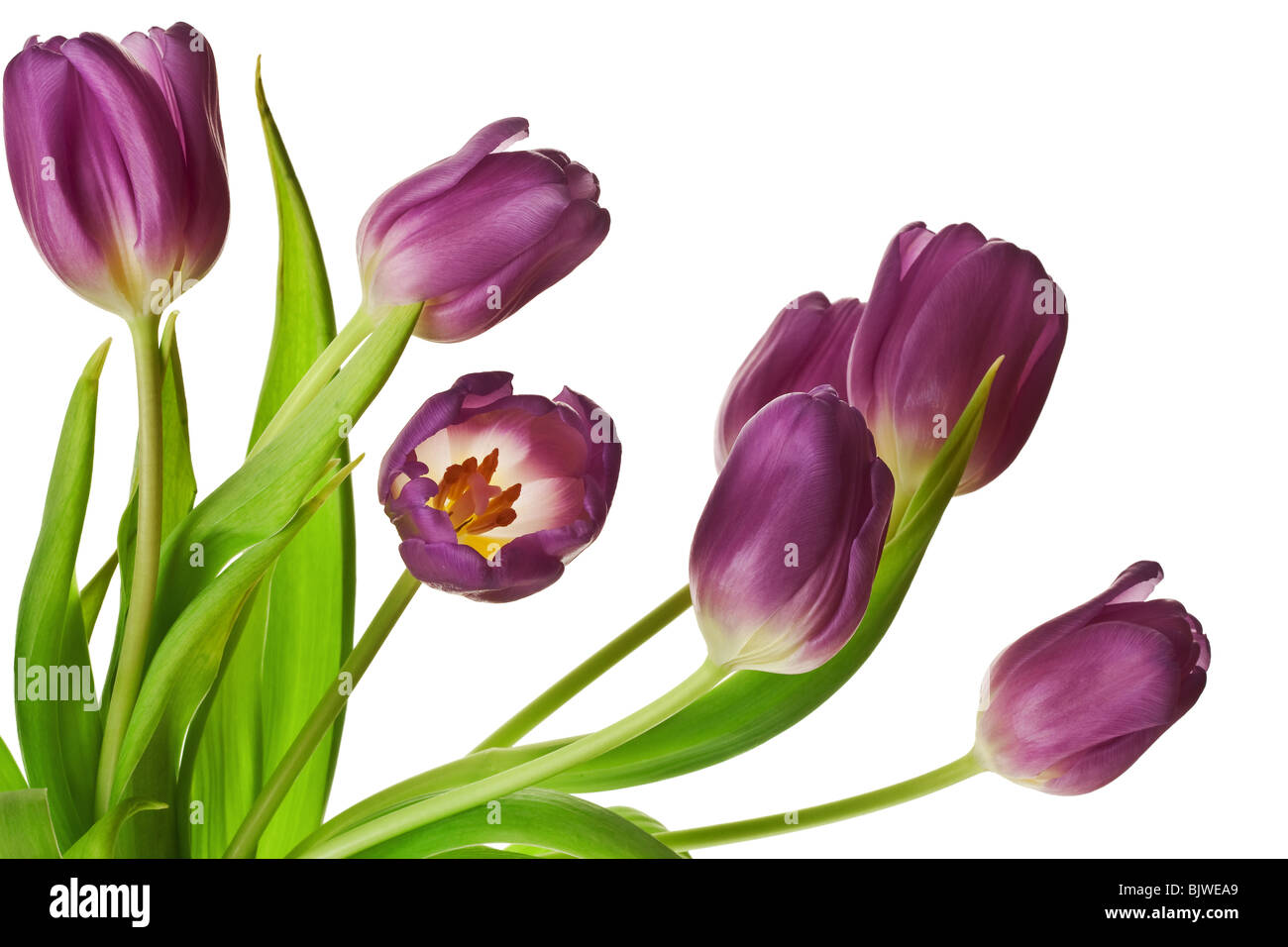 Purple Spring Tulips Isolated on a Pure White Background - Stock Image