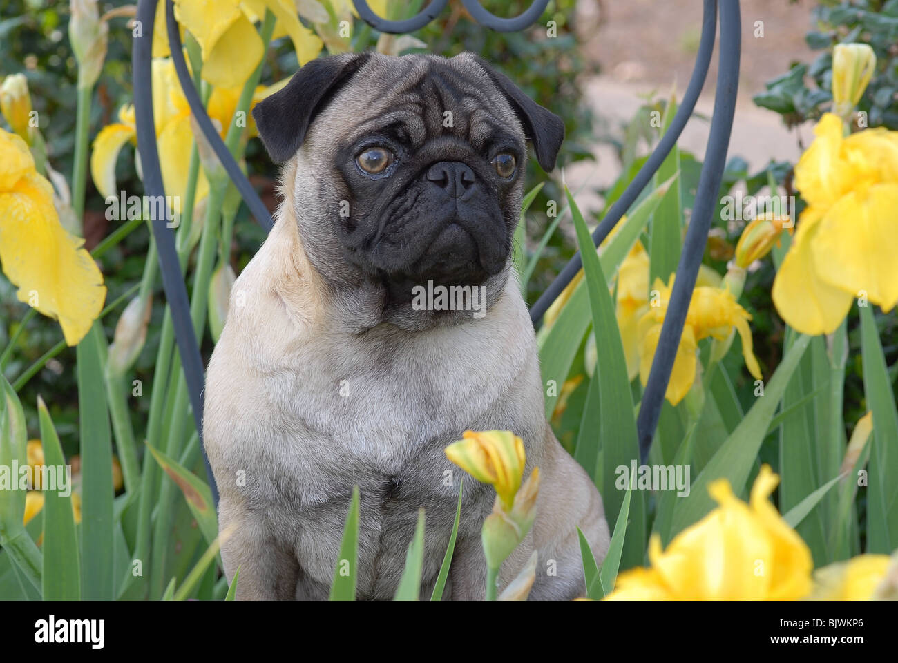 Pug dog in garden, by Bonnie Nance/Dembinsky Photo Assoc - Stock Image
