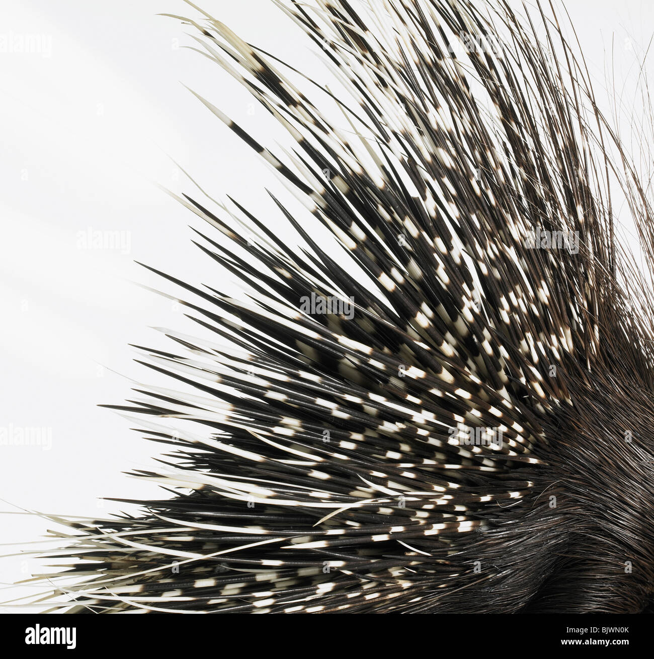 Porcupine quills Stock Photo