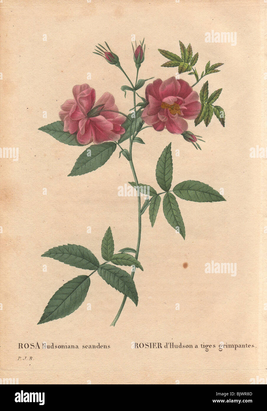 Climbing hudsons rose with dusty pink flowers rosa hudsoniana climbing hudsons rose with dusty pink flowers rosa hudsoniana scandens mightylinksfo