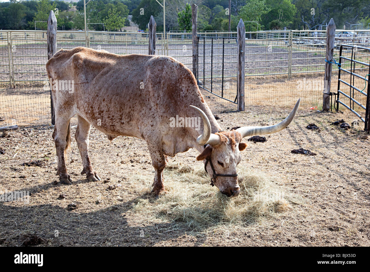Texas longhorn cattle in corral on ranch Texas USA - Stock Image