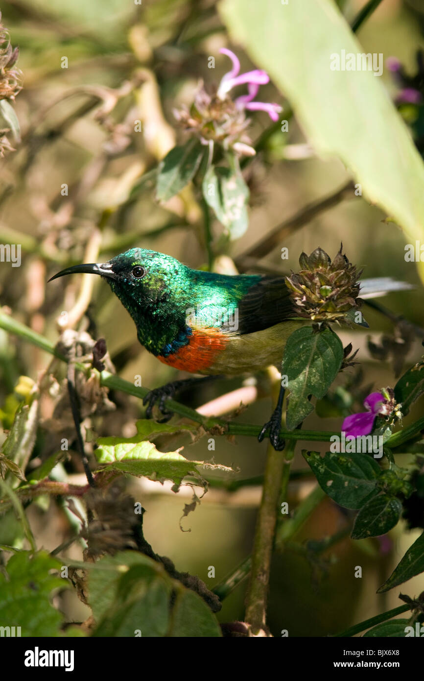 Eastern Double-collared Sunbird - Mount Kenya National Park, Kenya - Stock Image