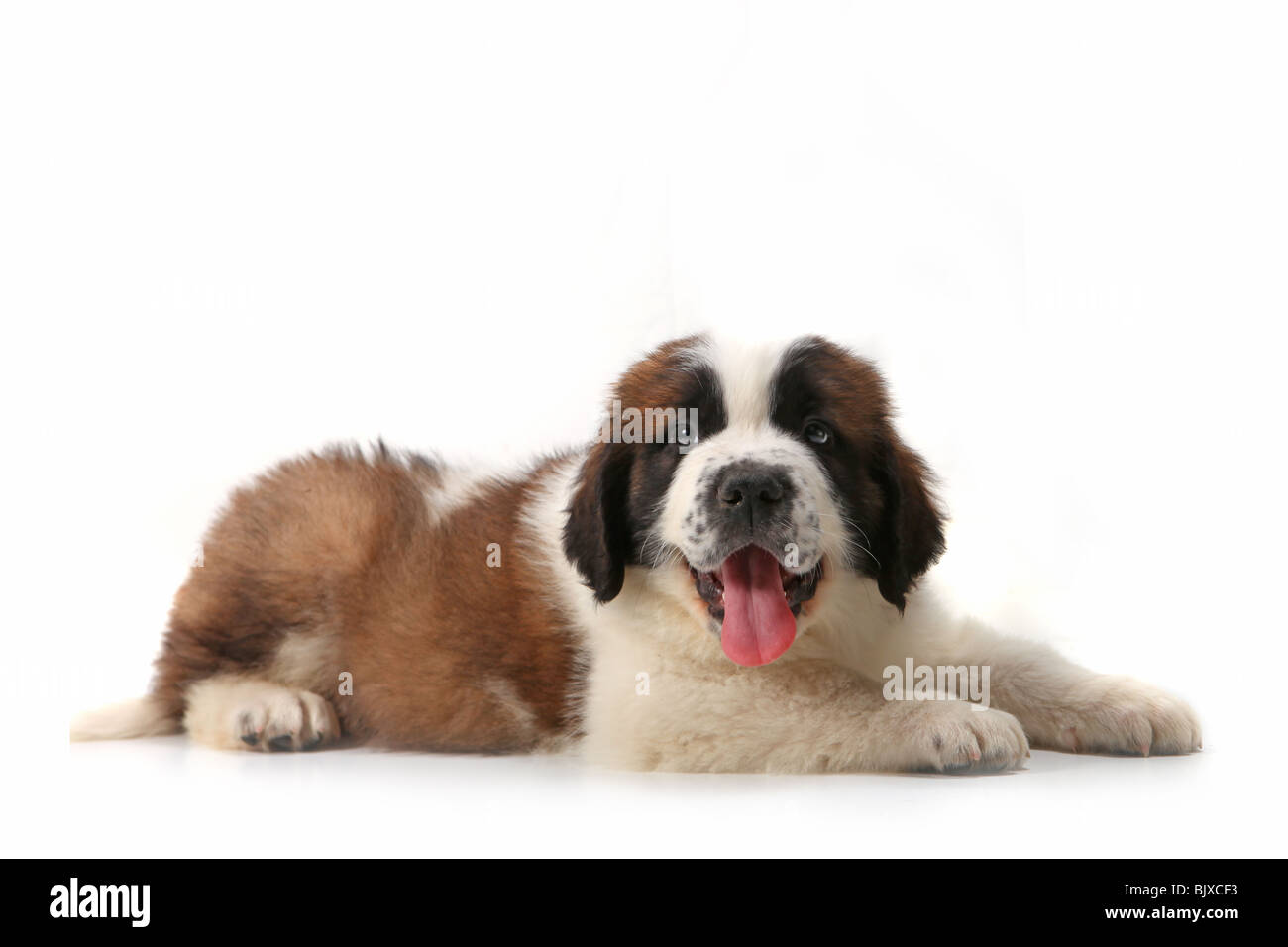 Happy Panting Saint Bernard Puppy Lying on His Stomach Against White Background - Stock Image