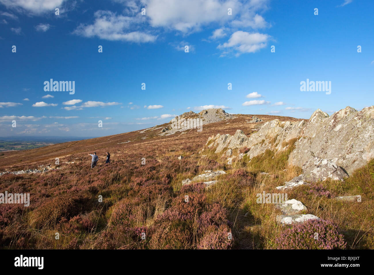 Stiperstones purple heather Shropshire Borders England Great Britain GB United Kingdom UK - Stock Image