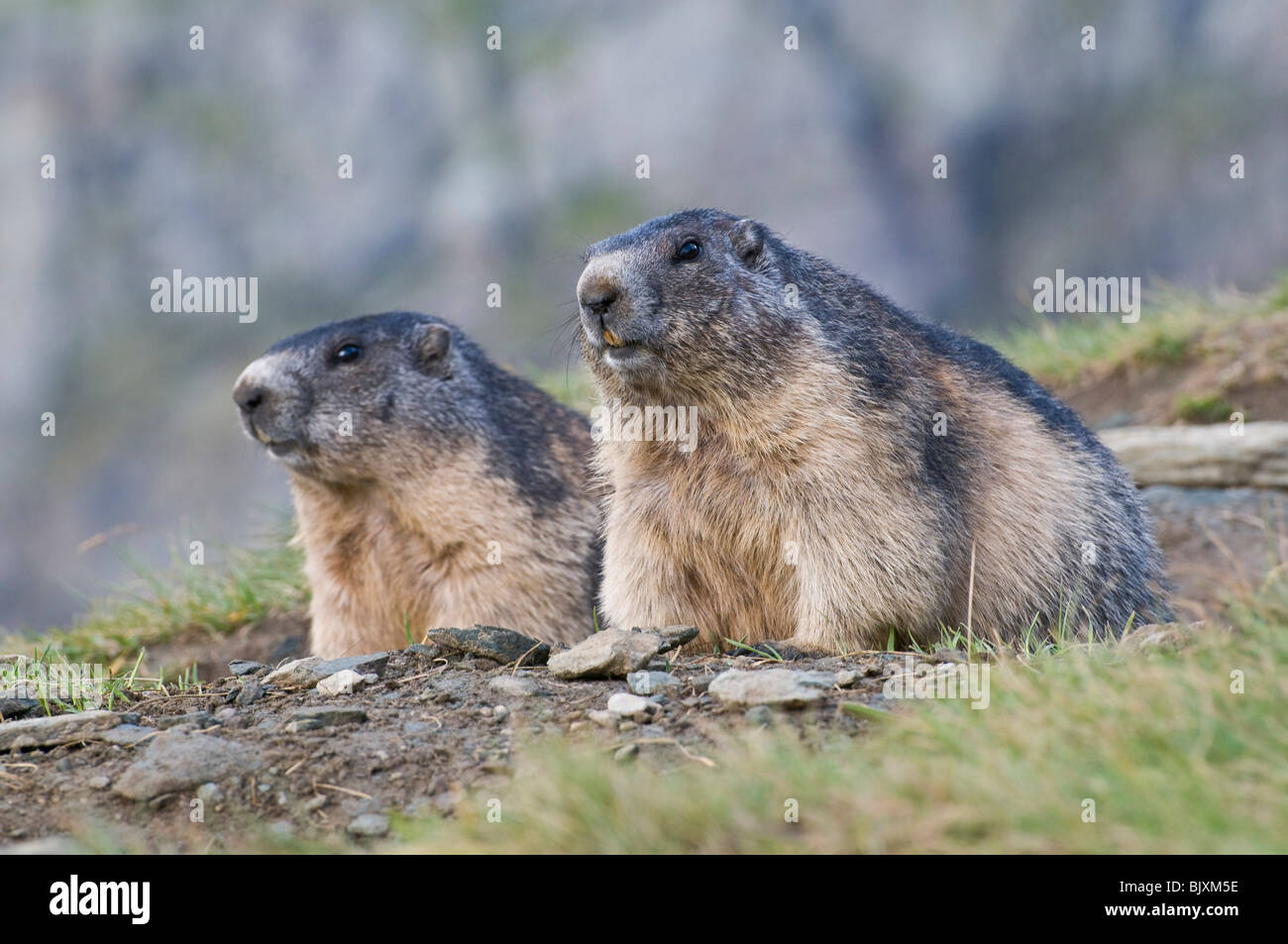 marmots - Stock Image