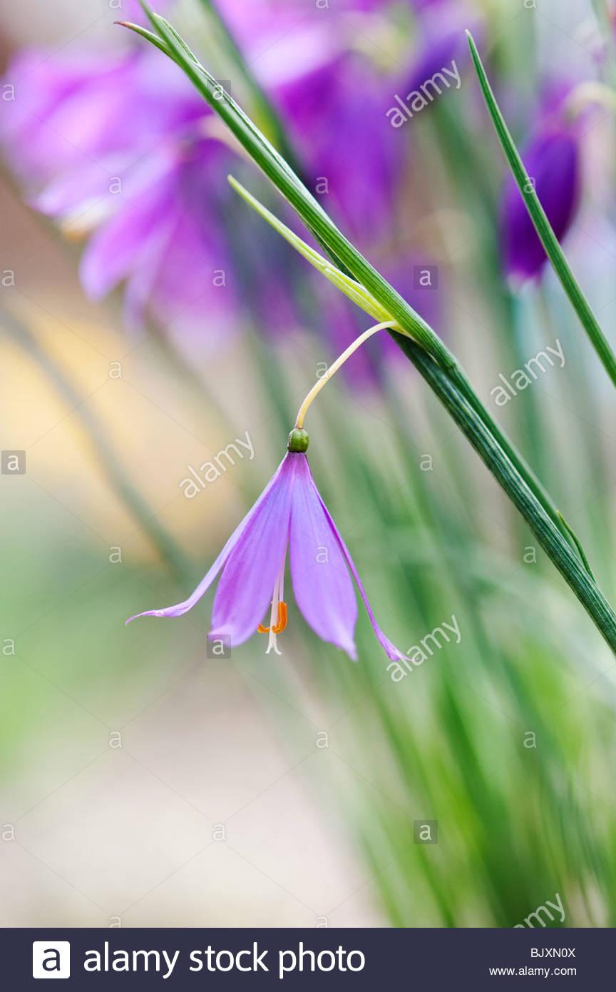 Olsynium douglasii. Grass Widow flowers - Stock Image
