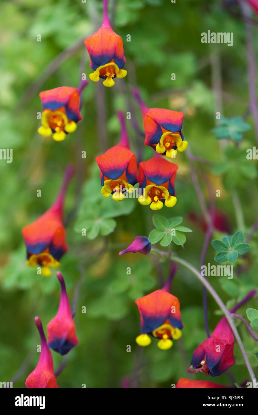 Tropaeolum tricolor. Bolivian Nasturtium. Three-coloured nasturtium / Bolivian Nasturtium  flowers - Stock Image