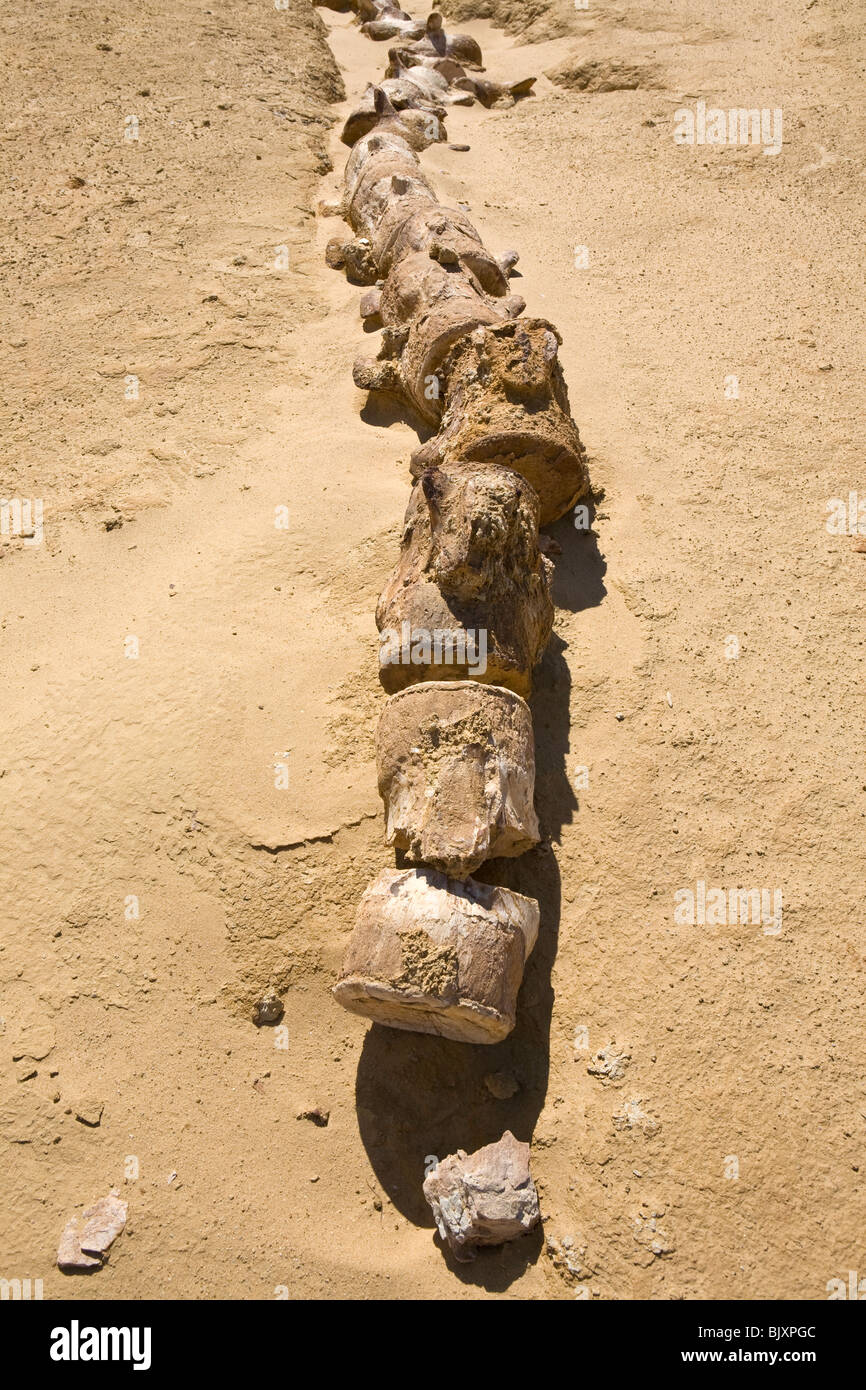 Fossilised vertebrae bones of ancient whales in the Valley of The Whales, Wadi El-Hitan, Western Desert of Egypt - Stock Image