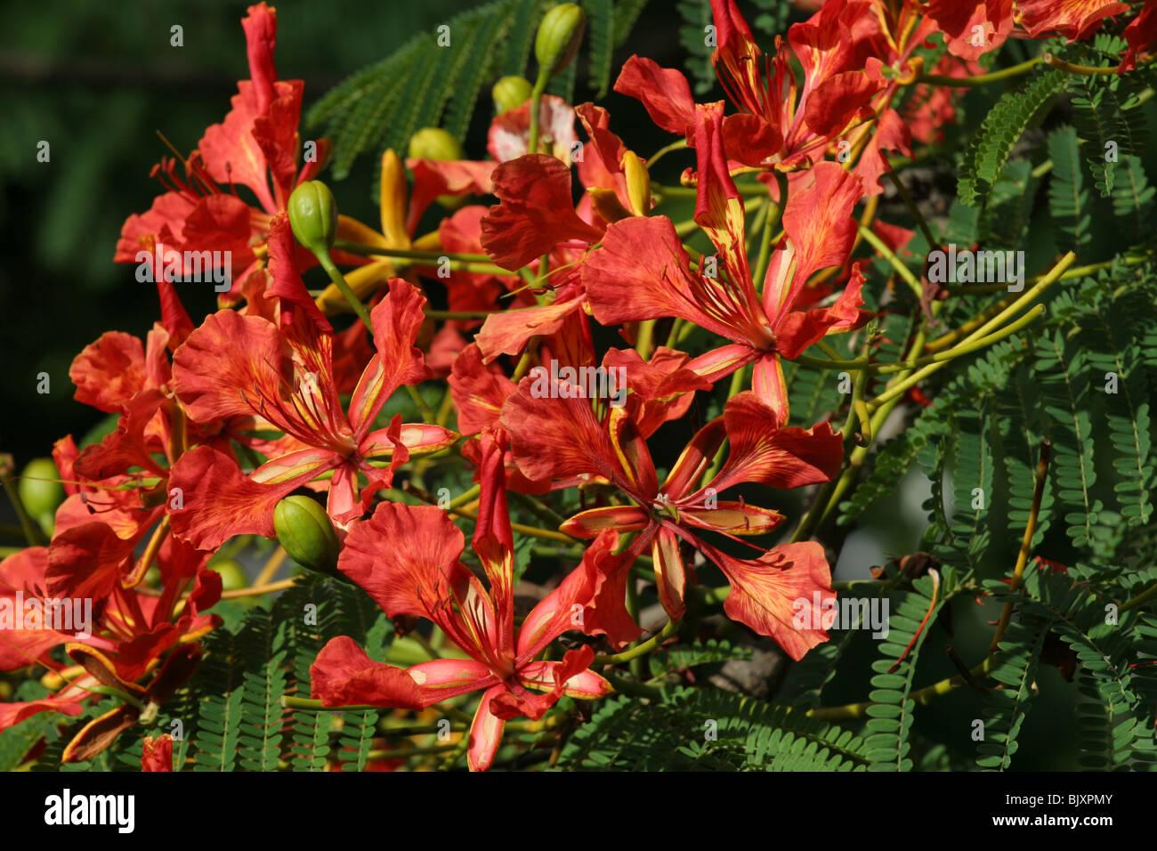 Jacaranda Flower Arusha Tanzania Tree Stock Photo 28862763 Alamy
