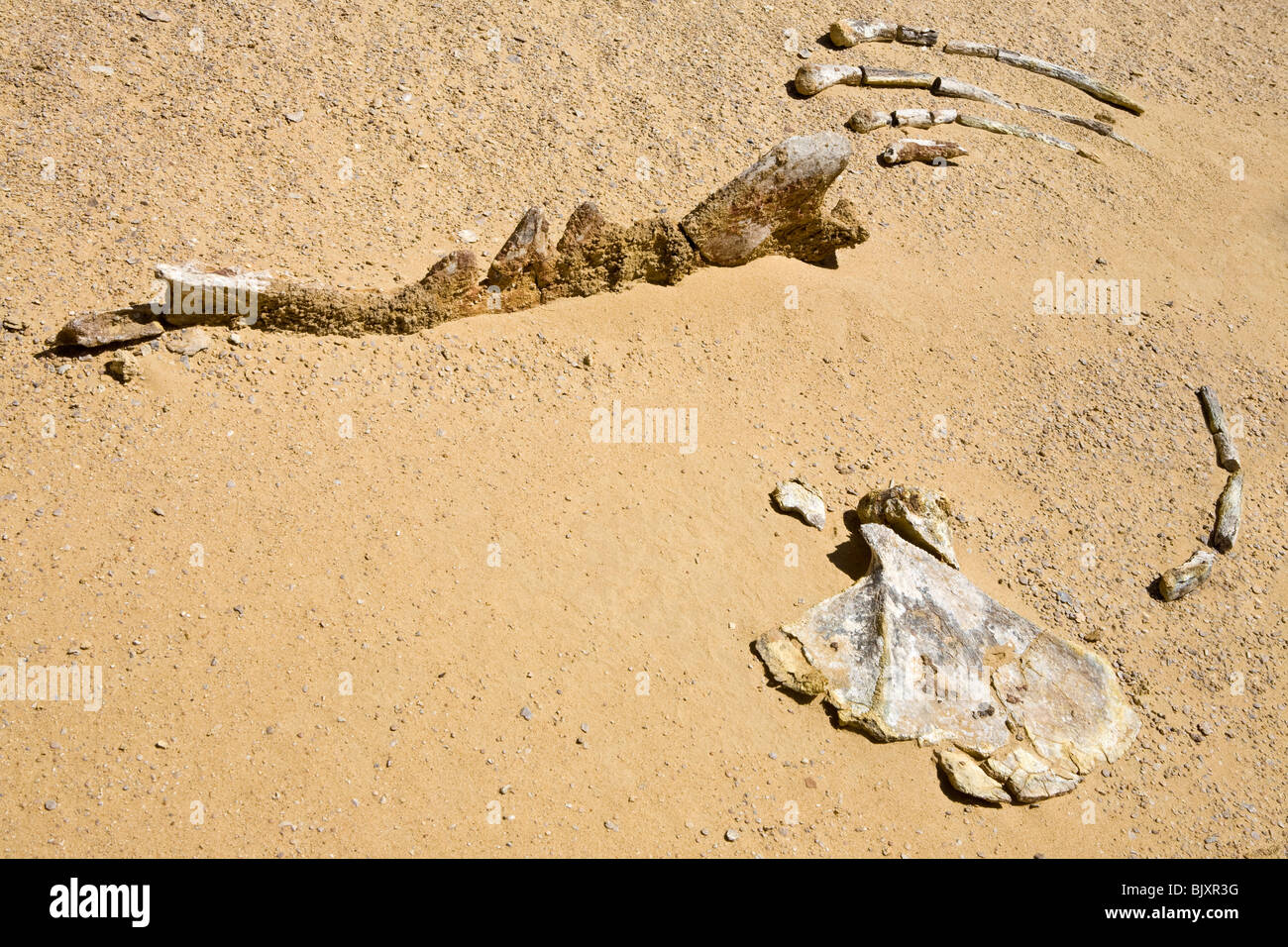 Fossilised bones of ancient whales in the Valley of The Whales, Wadi El-Hitan, Western Desert of Egypt - Stock Image