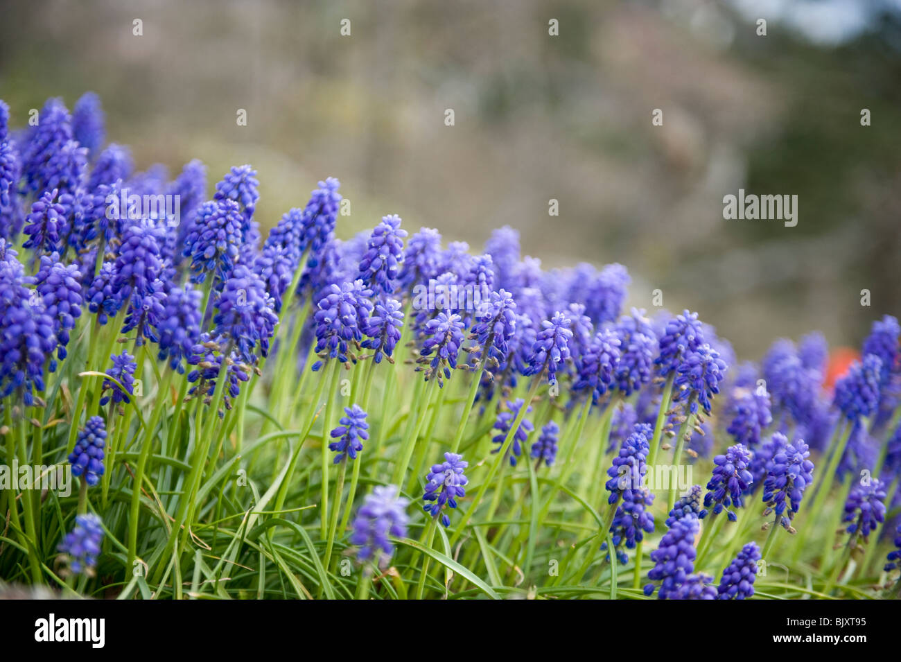 Grape hyacinths are among the first spring flowers to bloom in stock grape hyacinths are among the first spring flowers to bloom in victoria british columbia canada mightylinksfo