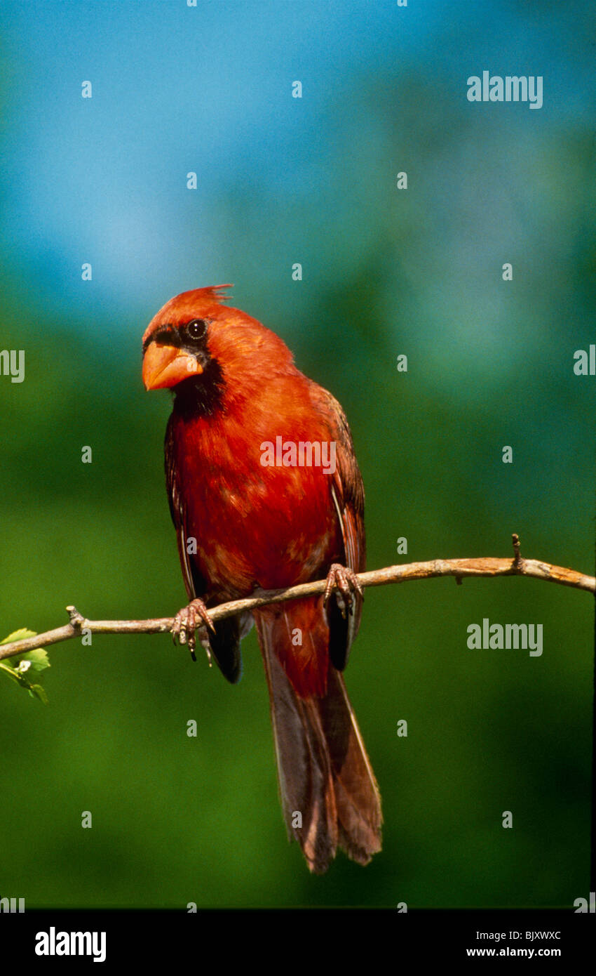 Male northern cardinal sitting on small branch looking quizzical - Stock Image