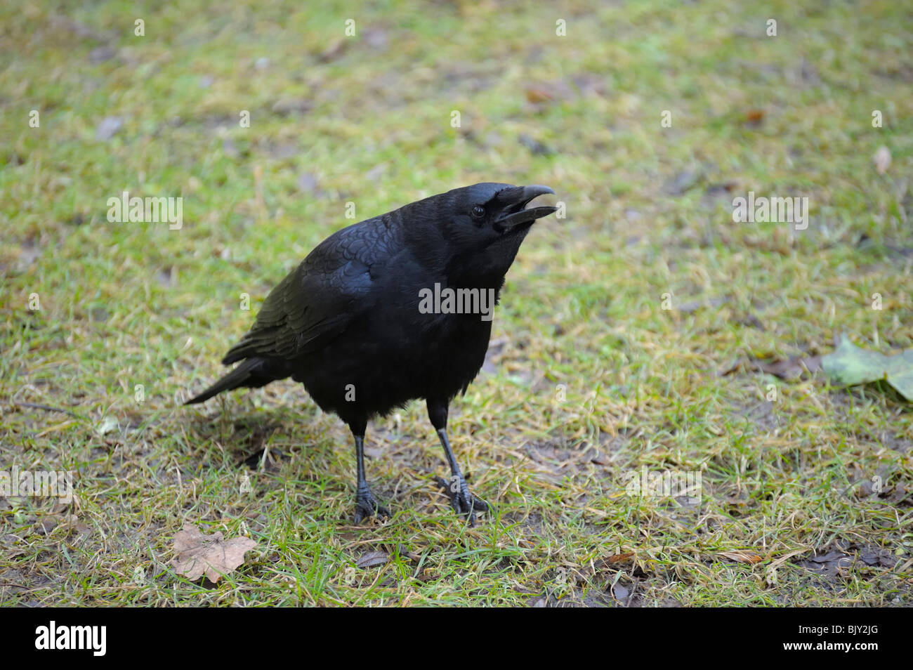 Carrion crow resting on green grass field - Stock Image