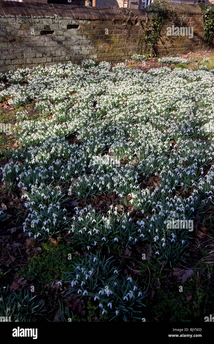 Snowdrops Pitstone Chilterns Buckinghamshire spring flowers - Stock Image