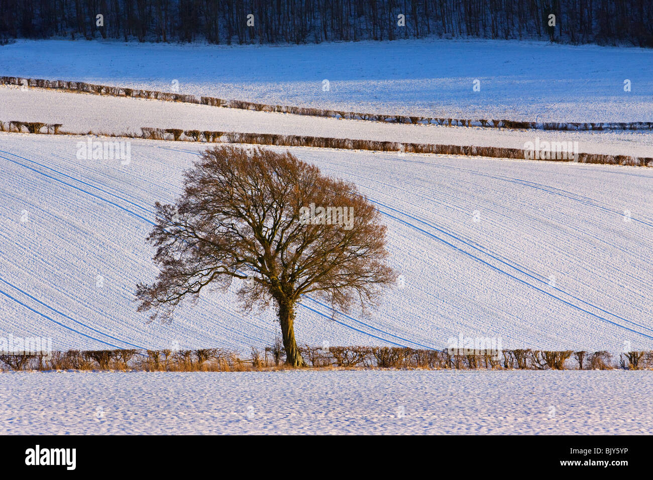 Tree at the Hale winter scene fields Chilterns Buckinghamshire - Stock Image