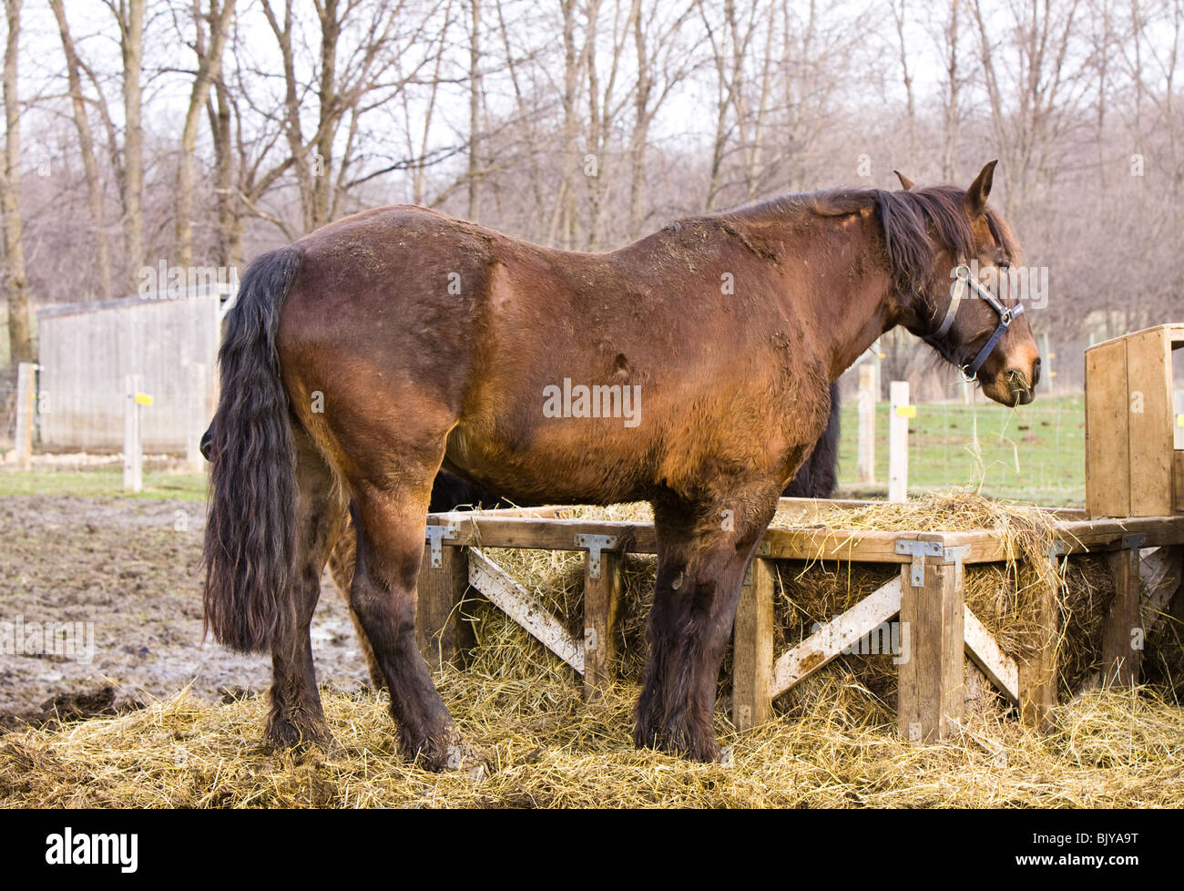 A brown horse eating grass from a manger. Stock Photo
