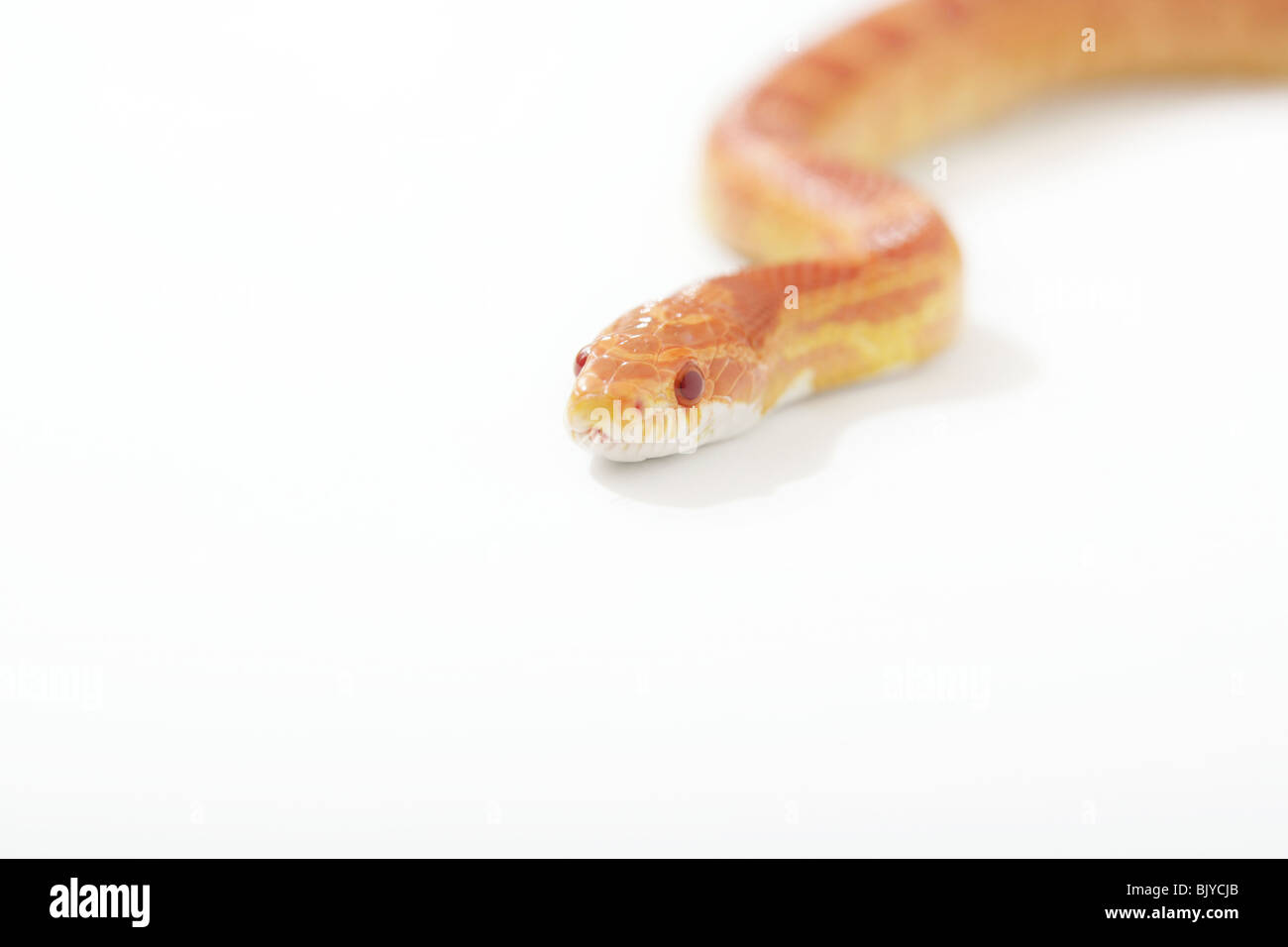 Corn snake photographed on a white background Stock Photo