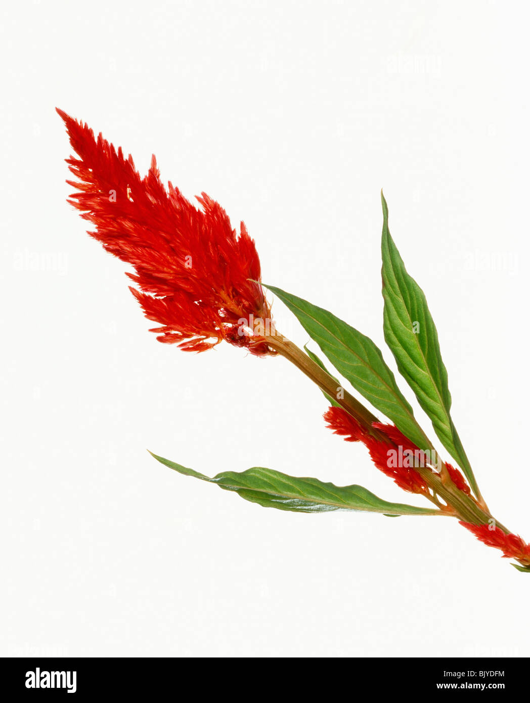 Vivid red flower, celosia argentea Stock Photo