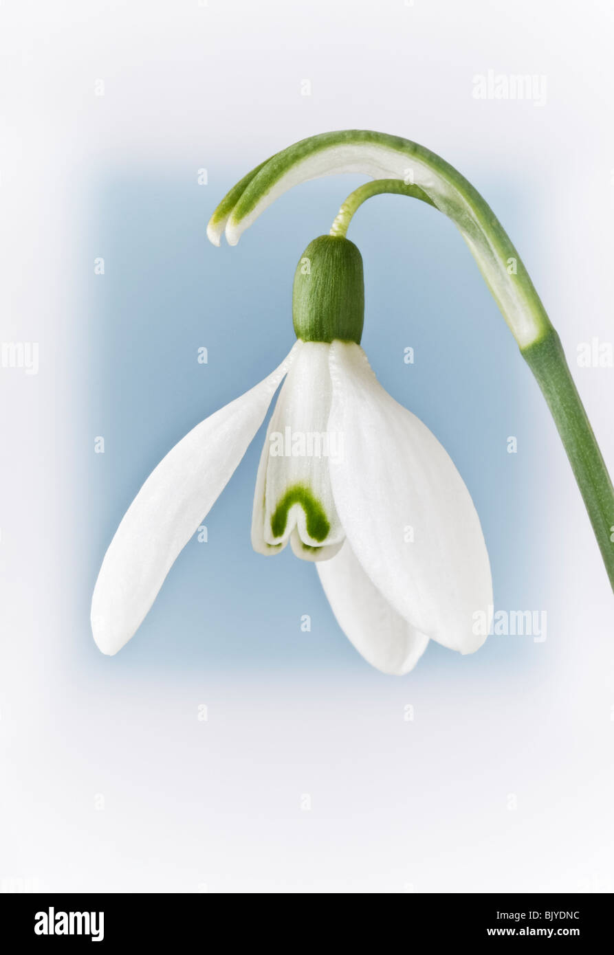 Snowdrop GALANTHUS blurred blue background Stock Photo