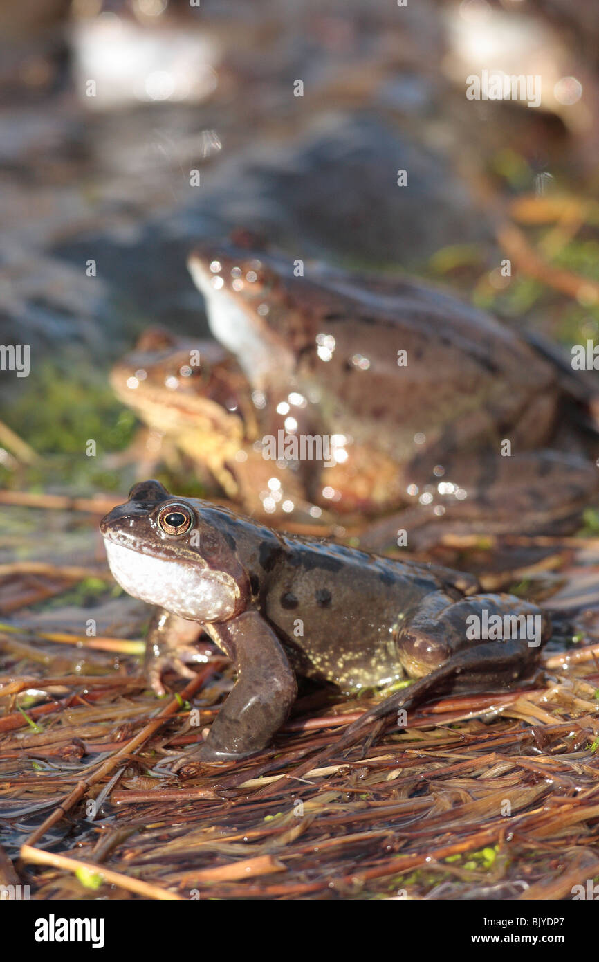 Common Frogs at Spawning Time - Stock Image
