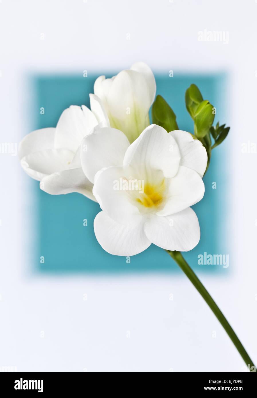 White Freesia blurred cyan background Stock Photo