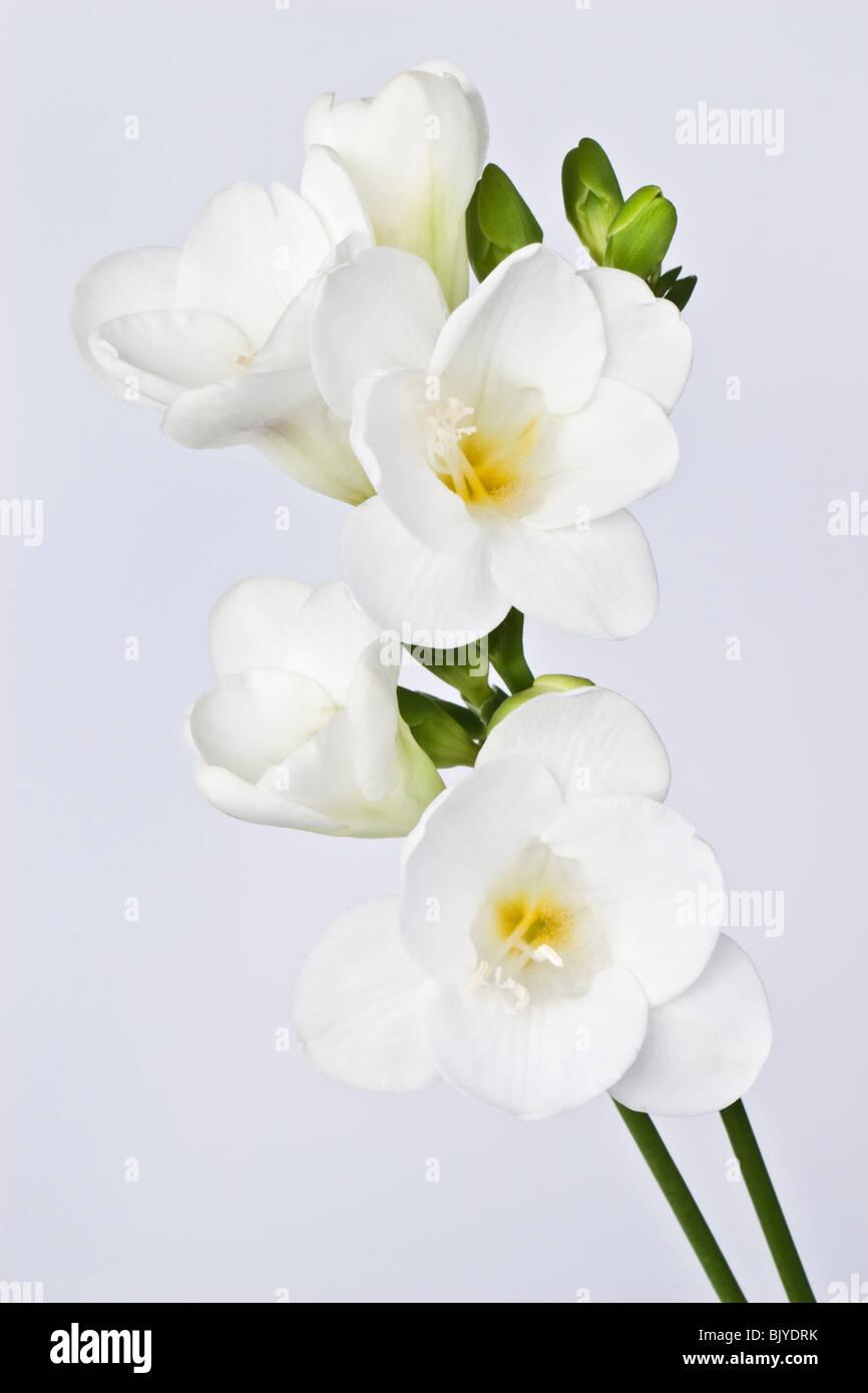 Freesia Flower Stock Photos Freesia Flower Stock Images Alamy