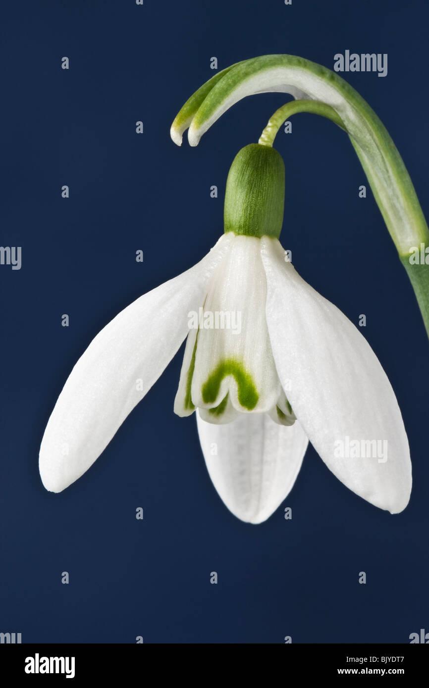 Snowdrop GALANTHUS - Stock Image