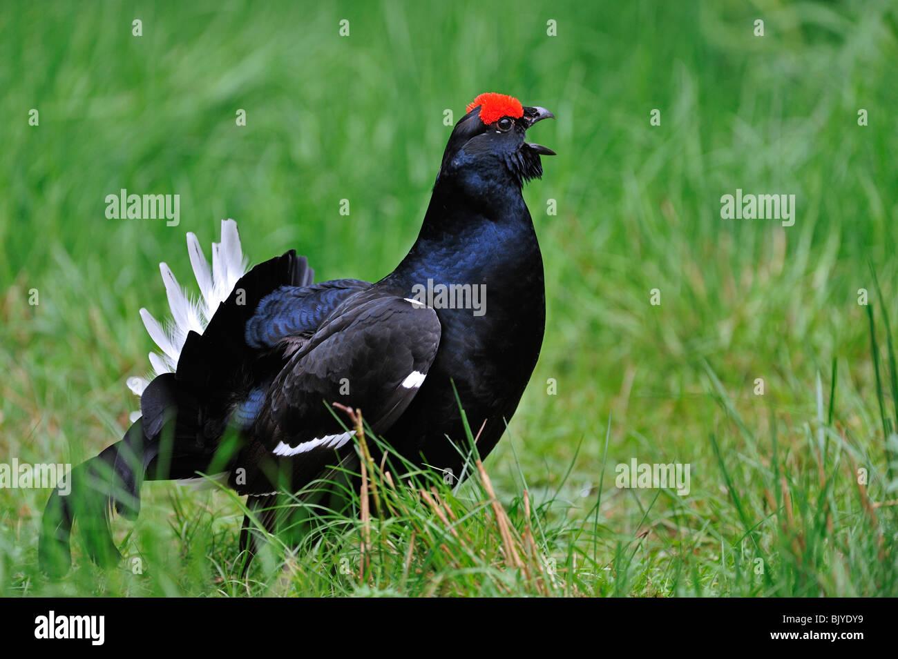 Black grouse (Lyrurus tetrix / Tetrao tetrix) male calling - Stock Image